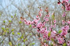 Spring plum blossom branches flower Royalty Free Stock Image