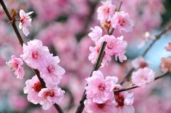 Spring plum blossom branches flower Royalty Free Stock Photography