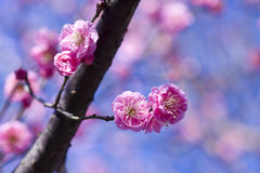 Spring plum blossom branches pink flower Stock Photos