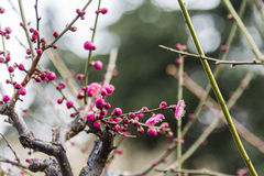 Spring plum blossom branches pink flower stock images