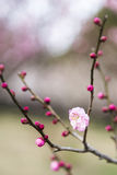 Spring plum blossom branches pink flower Royalty Free Stock Photo