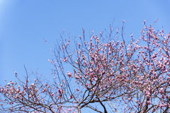 Spring plum blossom branches pink flower Royalty Free Stock Photography