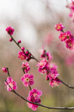 Spring plum blossom branches red flower Royalty Free Stock Images