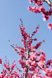Spring plum blossom branches red flower Royalty Free Stock Photography