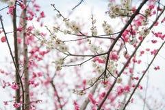 Closeup of a white plum blossom flowers stock photo