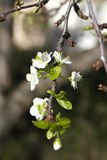 Spring plum blossom Stock Photos