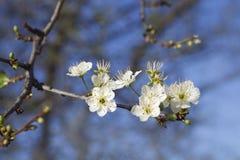 Spring plum blossom Stock Image