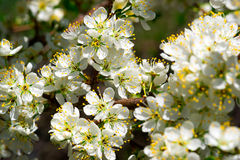 Spring Plum Blossoms in Bloom Stock Photo