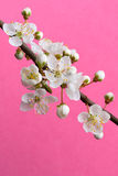 Spring plum branch Stock Photos