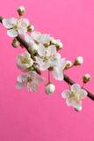 Spring plum branch. Spring branch of plum flowers Stock Photos