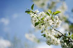 Spring plum branch blooming white flowers outdoors on a background royalty free stock images