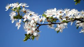 Spring plum branch blooming white flowers outdoors on a background stock footage