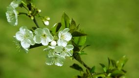 Spring plum branch blooming white flowers outdoors on a background stock video