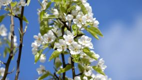 Spring plum branch blooming white flowers outdoors on a background stock video footage