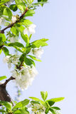 Spring Plum or Cherry leaves and blossom Royalty Free Stock Image