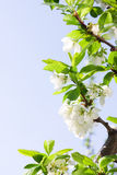 Spring Plum or Cherry leaves and blossom Stock Image
