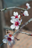 Spring plum-tree blossom Royalty Free Stock Image