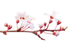 Spring plum-tree branch Royalty Free Stock Photo