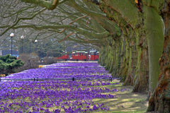 Spring in Poland. 2011, plane-trees and crocuses Royalty Free Stock Image