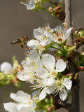 Spring pollination royalty free stock image
