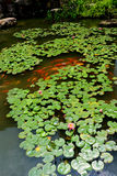 Spring pond. Verdant pond covered with overlapping round lotus leaves and bloomy pond lilies,spring water and a lot of brocaded carps,koi fish swimming Stock Photos