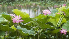 Blooming lotus. In the spring pond, the lotus is blooming royalty free stock image