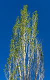 Spring poplar Stock Images