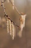Spring poplar Stock Image