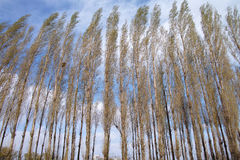 Spring poplar Royalty Free Stock Photo