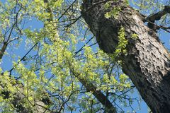 Spring poplar tree branches against blue sky Royalty Free Stock Image