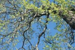 Spring poplar tree branches against blue sky Stock Photos