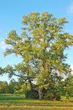 Spring poplar tree Stock Image