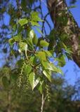 Spring. Poplar twig with catkins Stock Photo