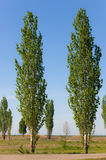 Spring poplars Stock Photo