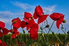 Spring poppies in Crimea royalty free stock images