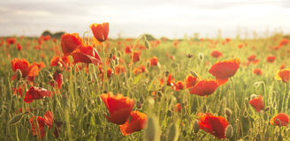 Spring poppies Stock Photography