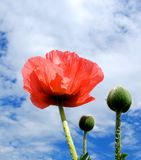 Spring Poppy Stock Photos