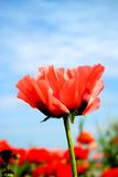 Spring Poppy Royalty Free Stock Images