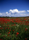 Spring on poppy field. Blooming poppy field with blue sky and clouds Royalty Free Stock Photos