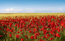 Spring poppy field. Poppy and wheat field in a sunny day Stock Photo