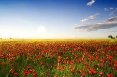 Spring poppy field Royalty Free Stock Images
