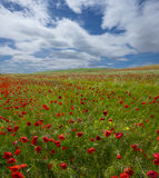 Spring, poppy field, in the background Royalty Free Stock Image