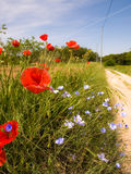 Poppies spring flowers field with  blue sky backgr Royalty Free Stock Images
