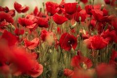 Spring Poppy Flowers Stock Image