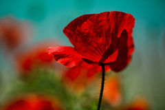 Spring Poppy Flowers Royalty Free Stock Images