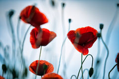 Spring Poppy Flowers Stock Photos