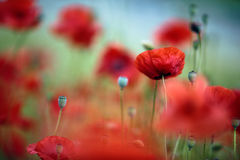 Spring Poppy Flowers Royalty Free Stock Photography
