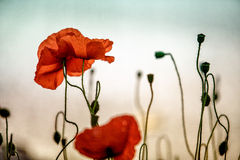 Spring Poppy Flowers Stock Images
