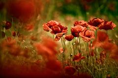 Spring Poppy Flowers Stock Image