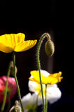 Spring Poppy White and Yellow Colors Vertical royalty free stock photos